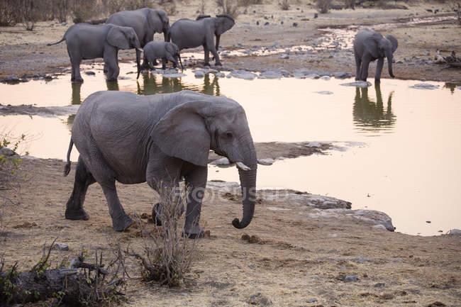 Elefanti africani vicino all'acqua in Africa, Namibia, Parco nazionale di Etosha , — Foto stock