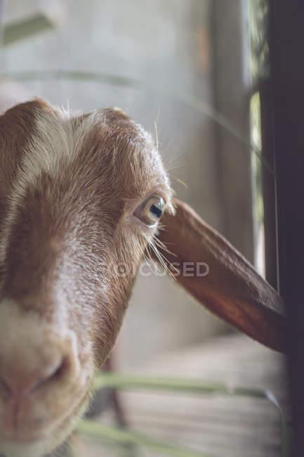 Verticale de chèvre curieuse dans l'écurie — Photo de stock