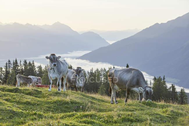 Австрия, Тироль, Мимингское плато, коровы на альпийском лугу — стоковое фото