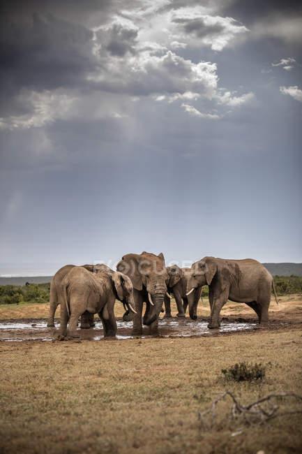 Південна Африка, Східна, Мис, Адо слон Національний парк, африканські слони, Локодтта Африканана — стокове фото