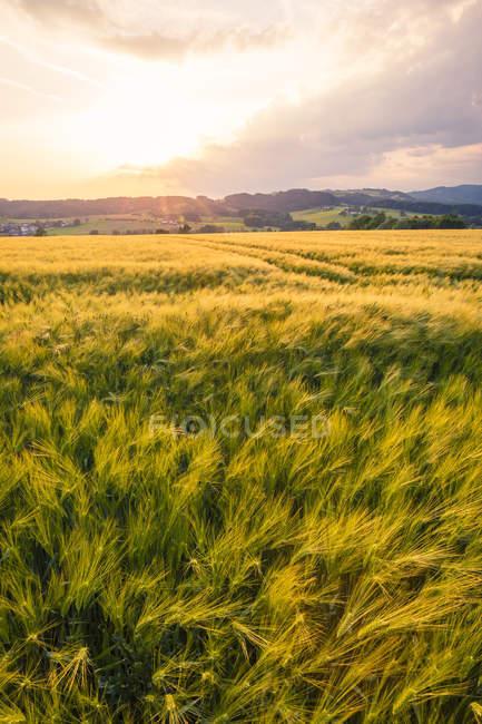Австрія, Верхня Австрія, Muehlviertel, зерно поля в вечірній сутінки — стокове фото