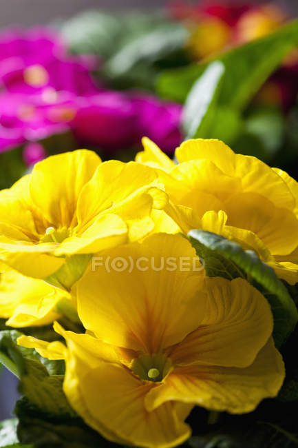Yellow primrose, close up — Stock Photo