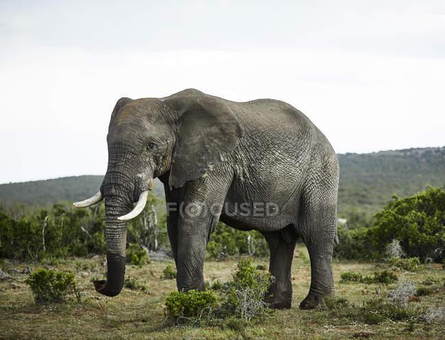 Afrique du Sud, Afrique orientale, Cap, Addo Elephant National Park, éléphant d'Afrique, Loxodonta Africana — Photo de stock