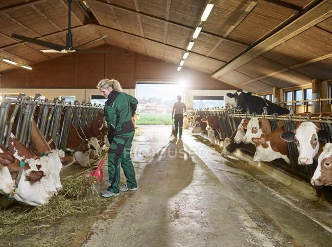 Усміхнений жіночий фермер годує корів у стабільному господарстві — стокове фото