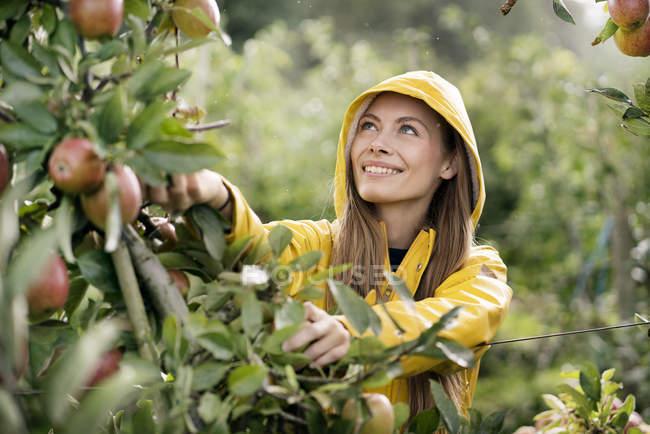 Усміхнена жінка збирання яблук з дерева — стокове фото