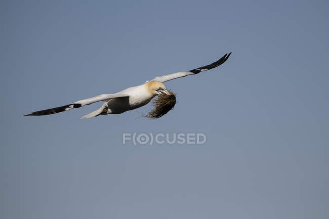 Scotland, flying Northern gannet with nesting material — Stock Photo