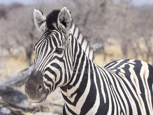Портрет рівнини зебри в Африці, Намібія, Національний парк Етоша — стокове фото