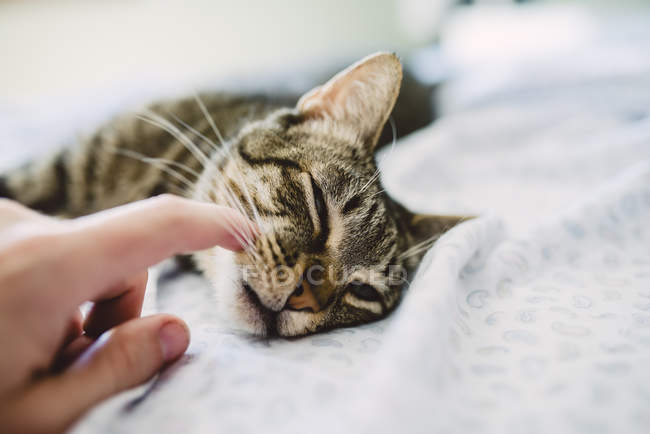 Hand of man stroking tabby cat, lying in bed — Stock Photo