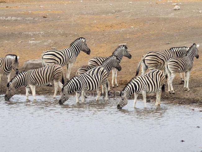 Рівнини зебр на waterhole в Африці, Намібія, Етоша Національний парк — стокове фото