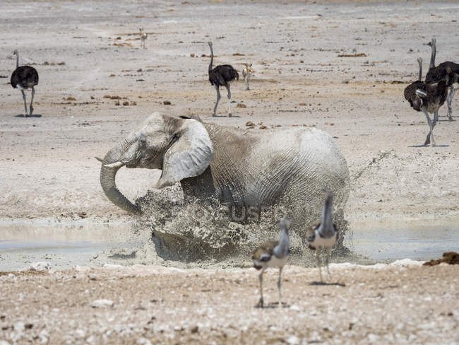 Elephant running into water in Africa, Namibia, Etosha National Park, — Stockfoto