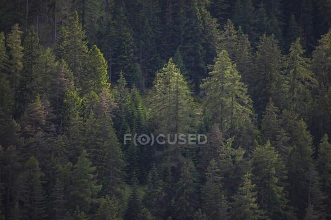 Швейцария, Грисонс, Самнаун, хвойный лес — стоковое фото
