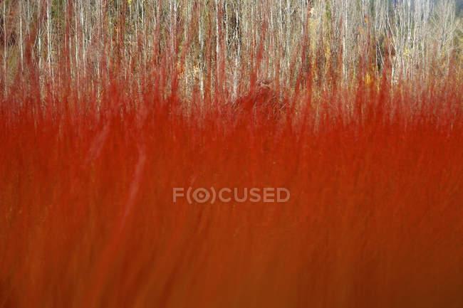 Schöne verschwommene rote Weidenkultur in canamares, Spanien im Herbst — Stockfoto