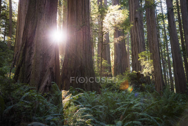 USA, California, Crescent City, Jedediah Smith Redwood State Park, Redwood trees against the sun — Stock Photo