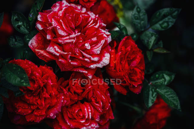 Close-up of red roses in the garden — Stock Photo