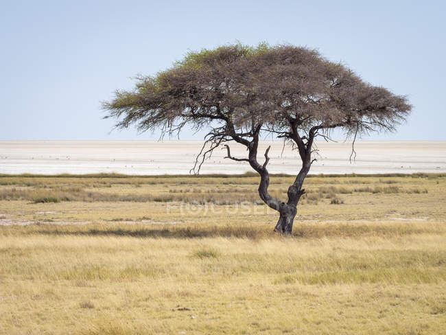 Arbre solitaire en Afrique, Namibie, parc national d'Etosha — Photo de stock