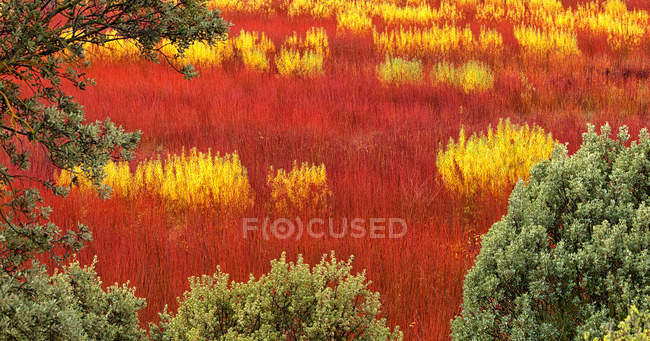 Beautiful wicker cultivation in Canamares, Spain in autumn — Stock Photo