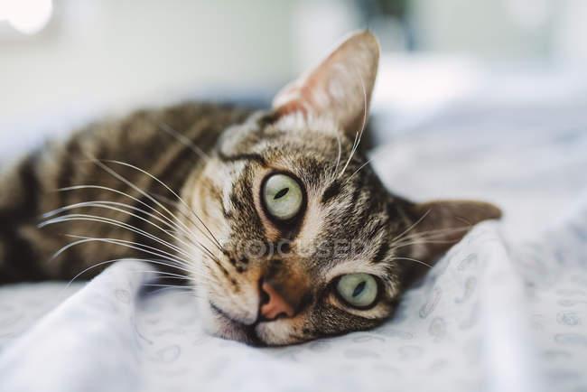 Gatto da tavolo, ritratto sul letto — Foto stock