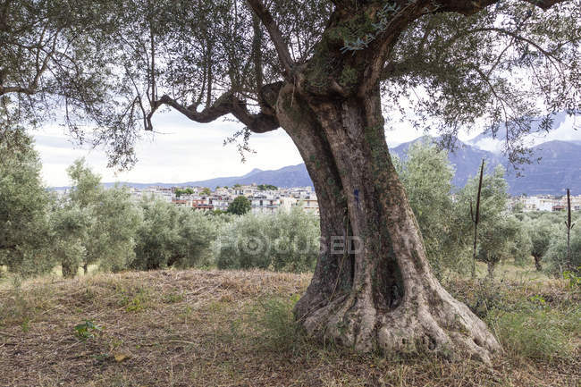Greece, Peloponnese, Laconia, Sparta, olive tree, city in the background — Stock Photo