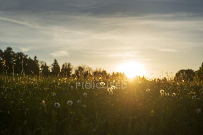 Boulettes sur une prairie au coucher du soleil — Photo de stock