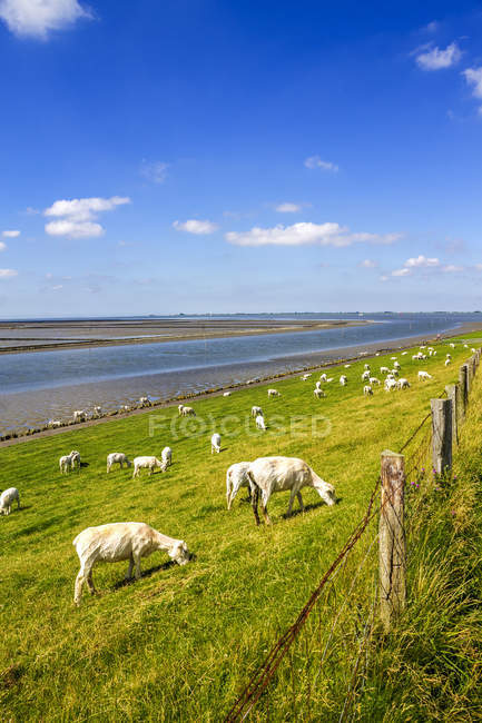 Germany, Schleswig-Holstein, Husum, herd of sheep on dike — Stockfoto