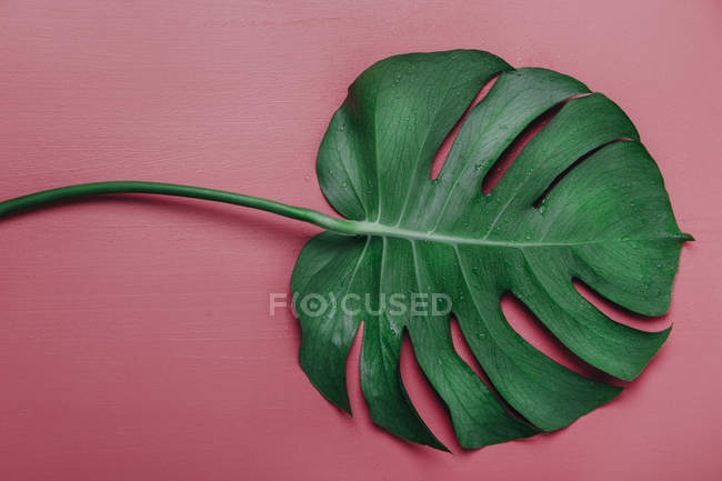 Monstera лист на розовом фоне, Monstera deliciosa — стоковое фото