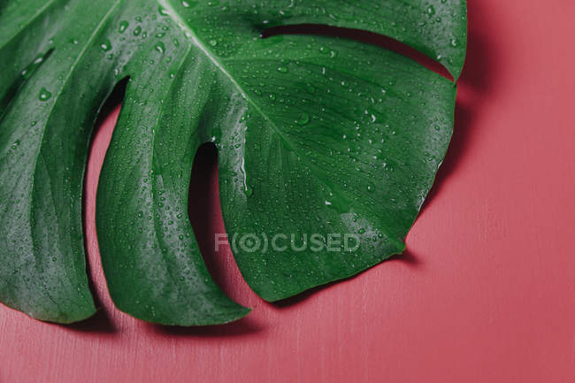 Monstera leaf on pink background, Monstera deliciosa — Stock Photo