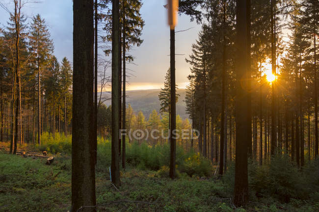 Germany, Bavaria, coniferous forest at sunset — Stock Photo