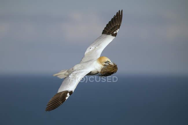 Scozia, gannet settentrionale volante con materiale di nidificazione — Foto stock
