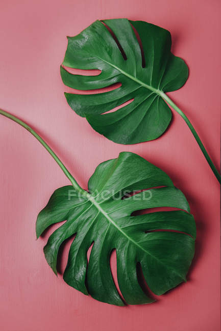 Foglie di Monstera su sfondo rosa, Monstera deliciosa — Foto stock