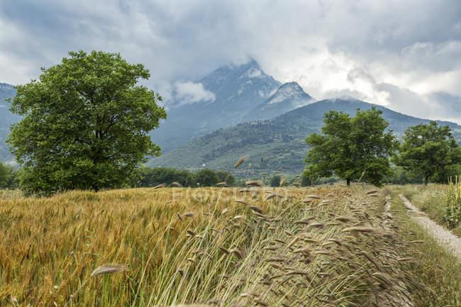 Greece, Peloponnese, Corinthia, Feneos plain, Kyllini Mountains, rye field — Stock Photo