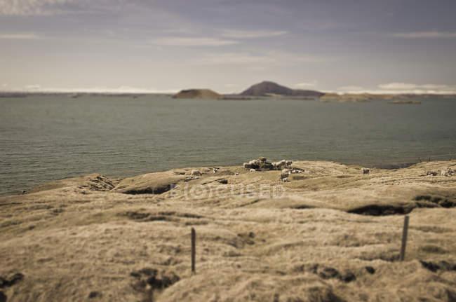 Iceland, sheep at Myvatn lake — Fotografia de Stock