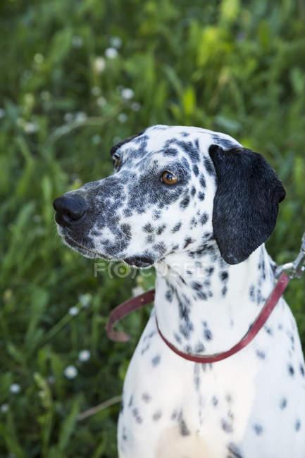 Портрет пса на відкритому повітрі. — стокове фото