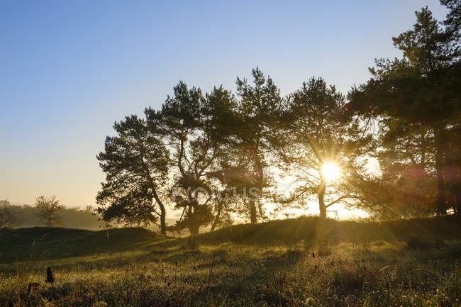 Germany, Bavaria, Lower Bavaria, Altmuehl Valley, Pines at sunrise — Stock Photo