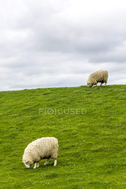 Germany, Schleswig-Holstein, Husum, sheep on dike — Fotografia de Stock