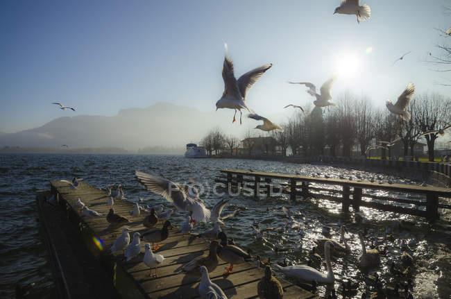 Austria, Salzkammergut, Lake Mondsee and seagulls in the morning - foto de stock