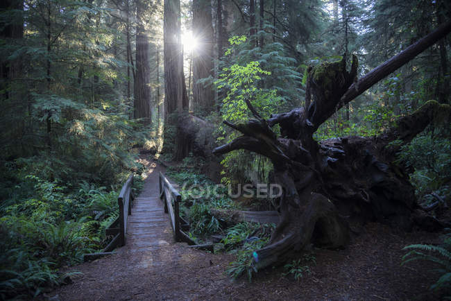États-Unis, Californie, Crescent City, Jedediah Smith Redwood State Park, sentier de randonnée — Photo de stock