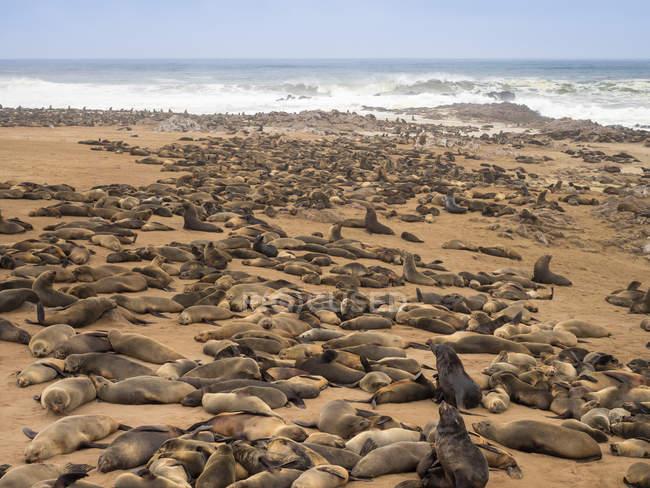 Afrique, Namibie, Cape Cross Seal Reserve, colonie d'otaries à fourrure du Cap — Photo de stock