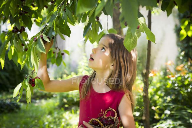 Portrait of little girl picking cherries — Stockfoto