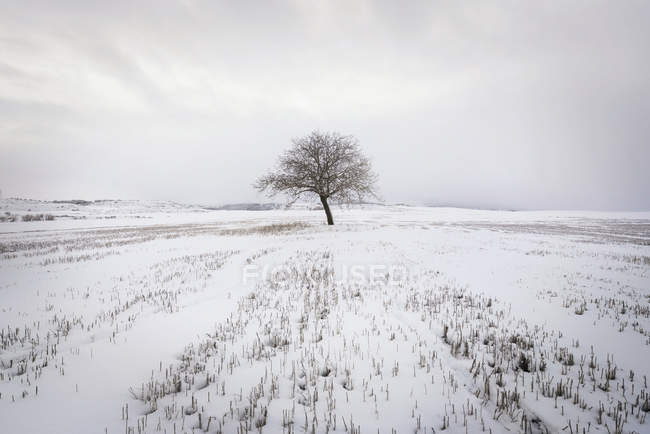 Spain, single bare tree in snow-covered winter landscape — Stock Photo