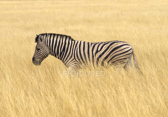 Llanuras cebra en hierba alta en Africa, Namibia, Parque Nacional Etosha - foto de stock