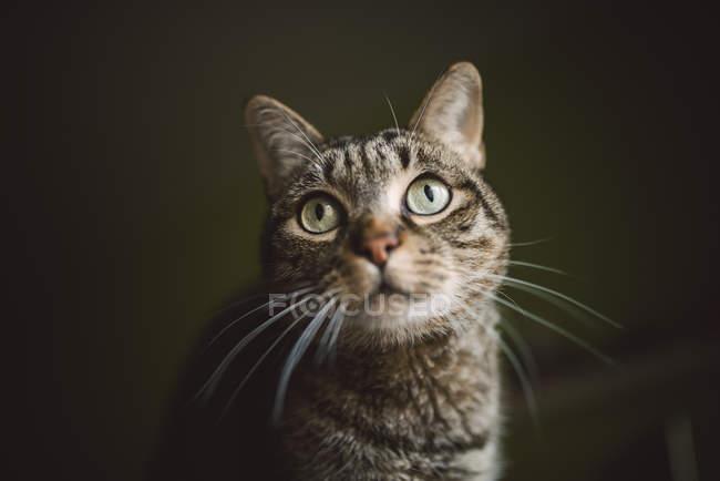 Ritratto del gatto di tabby guardando qualcosa — Foto stock