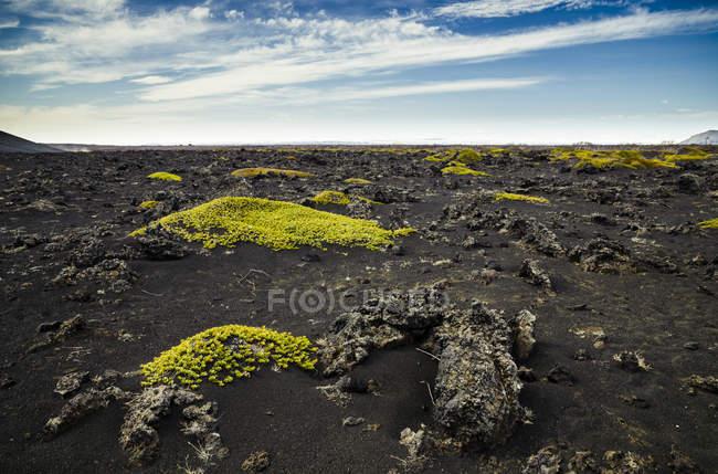 Iceland, Myvatn, Sparse mosses on volcanic rock — стокове фото