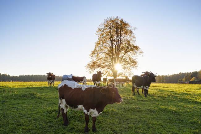 Germania, Baviera, Alta Baviera, Prealpi, pascolo bovino a Peretshofen all'alba — Foto stock