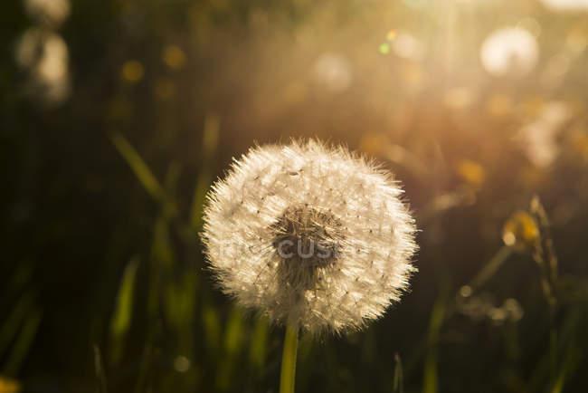 Blowball at sunset, close-up — Photo de stock