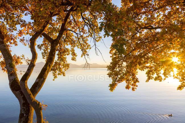 Германия, Бавария, Chiemsee, дерево с осенними листьями против вечернего солнца — стоковое фото