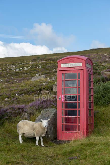 United Kingdom, Scotland, Highland, telephone booth and sheep — Stock Photo
