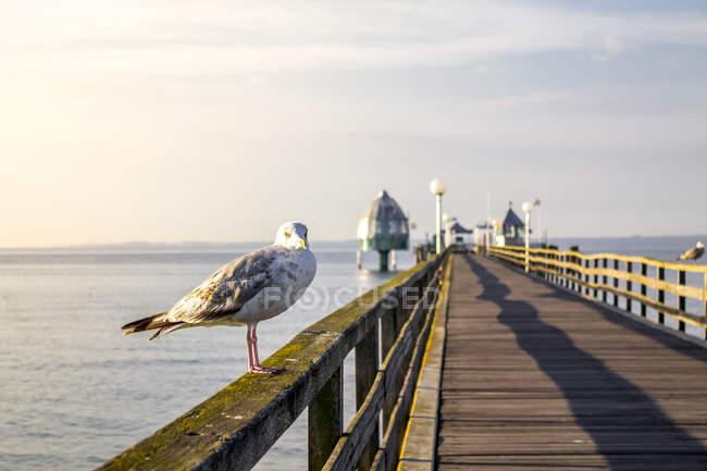 Allemagne, Groemitz, mouette sur la rampe du pont maritime — Photo de stock