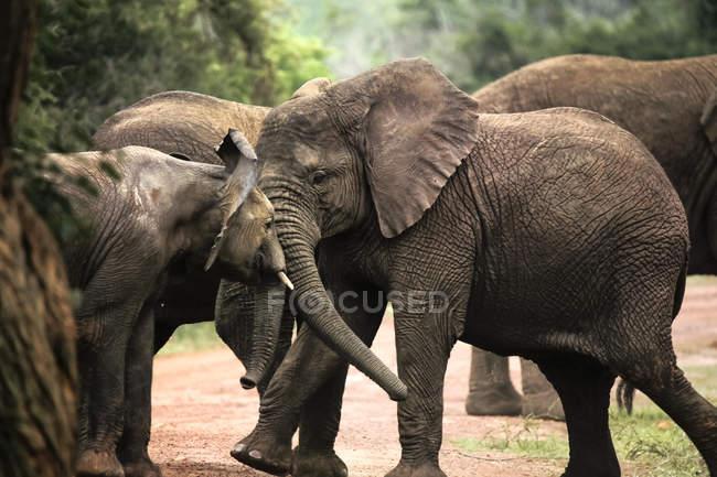 Uganda, Parco nazionale di Kigezi, Giovani elefanti che giocano insieme — Foto stock