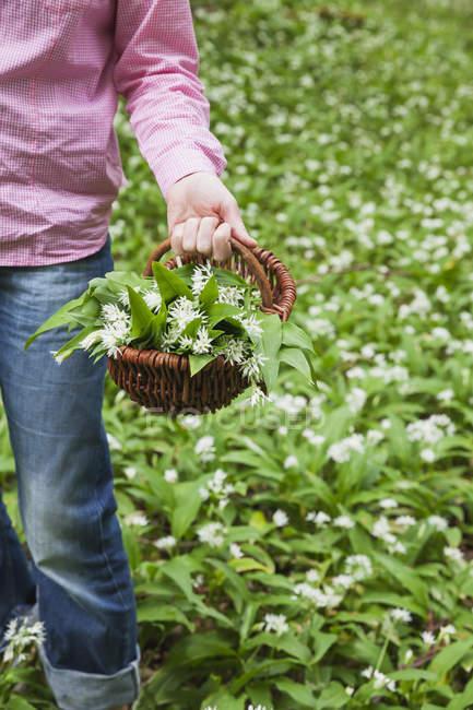 Allemagne, Rhénanie-du-Nord-Westphalie, Eifel, ail sauvage, Allium Ursinum, en osier — Photo de stock