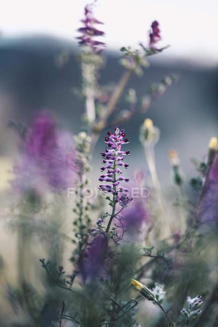 Gros plan de Fleurs violettes à Lleida — Photo de stock